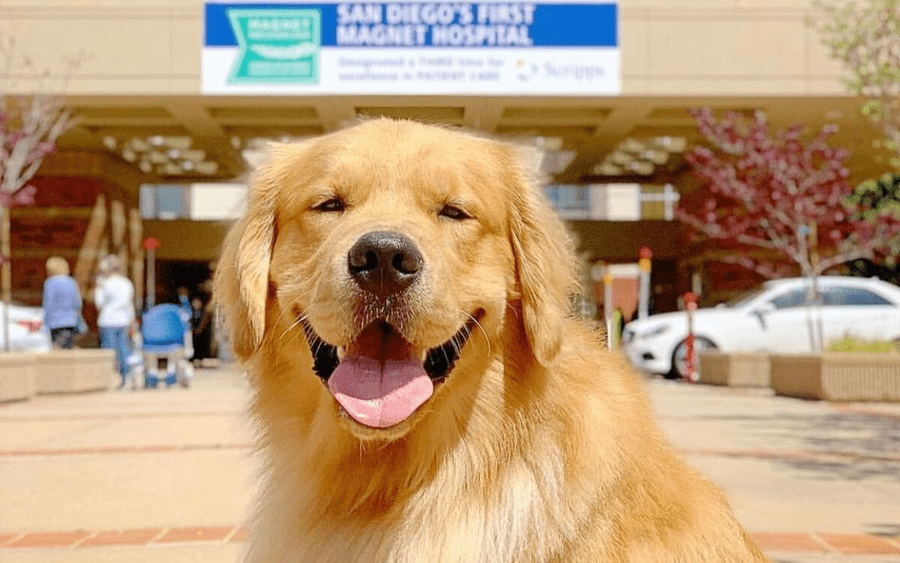 A golden retriever therapy dog poses in front of a Scripps hospital.