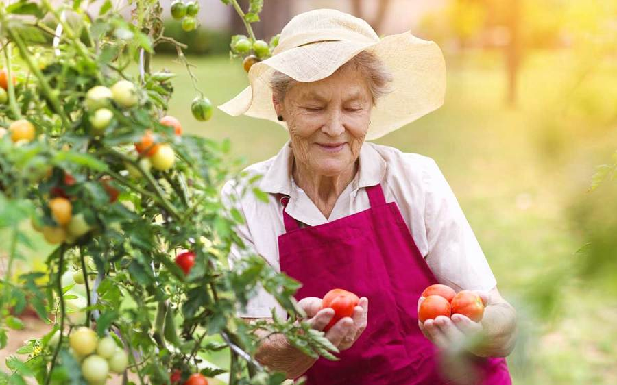 An elderly woman wearing a gardening apron and sun hat picks tomatoes from the vine in her front yard.