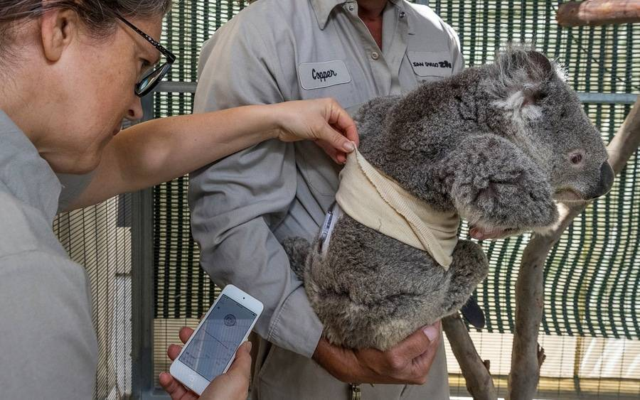 Quincy the koala is wearing a continuous glucose monitoring device on his back to help manage his type 1 diabetes.